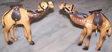 Camel Pair 1
